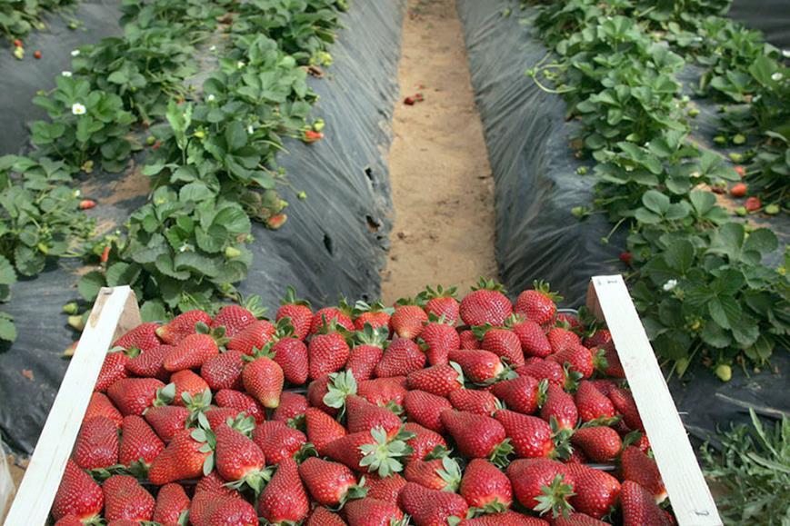Τινάσσεται στον αέρα η φετινή σοδειά σε φράουλα, πατάτα, καρπούζι – Symboulos